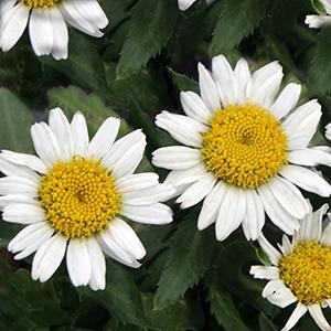 Daisy Shasta Snow Lady   - Leucanthemum superbum -  lg pot